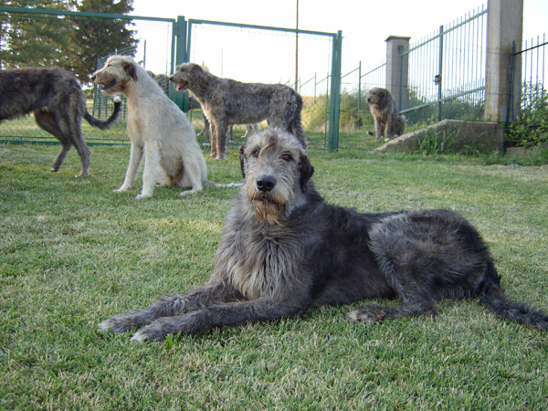 irish_wolfhounds.jpg