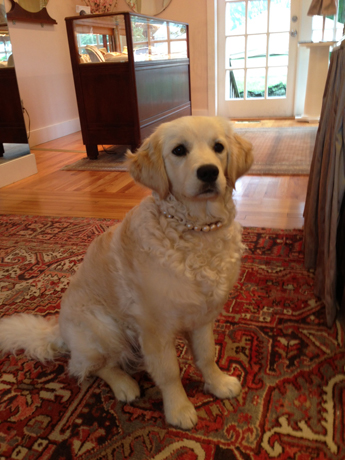Kashmir in her pearl dog collar at the store of fur mom, Tiffany Peay, in Tiverton, R.I.