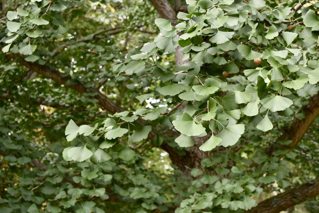 Ginkgo leaves galore