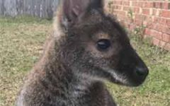 Parris Jewelers Wallaby missing