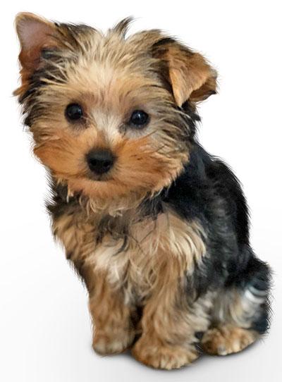 alison lou dog yoshi
