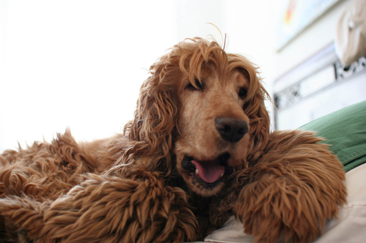 Ghibli the golden English Cocker Spaniel was owned by jewelry designer Emanuela Duca before he died in 2012