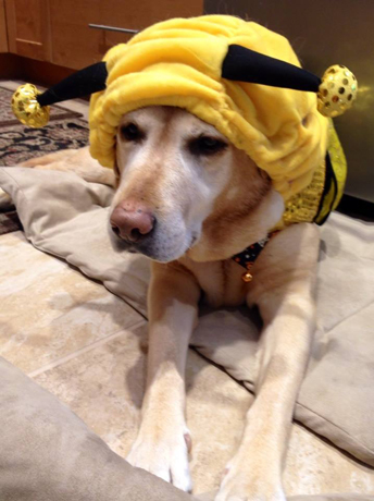 Gracie the dog owned by Dan Schuyler of Lily & Co. as a bumble bee